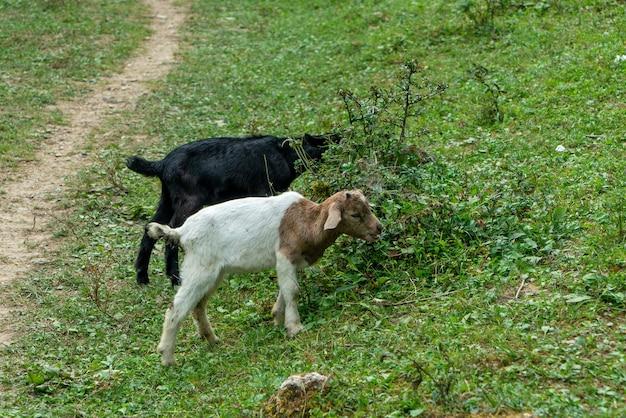 ヤギは草を食べています
