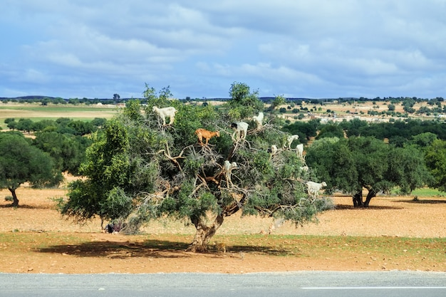 Goats climb up the argan tree to eat its nuts. essaouira, morocco.