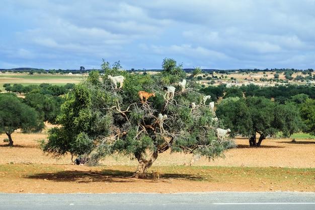 Козы поднимаются вверх по дереву аргана, чтобы съесть его орехи. эс-сувейра, марокко.