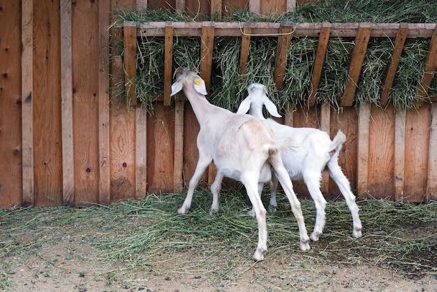 Козы едят сено и траву на ферме. фермерское животноводство для промышленного производства молочных продуктов из козьего молока