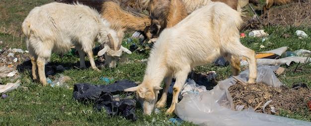 ヤギはプラスチック廃棄物を食べる生態学的破局動物はプラスチック廃棄物で死にかけている
