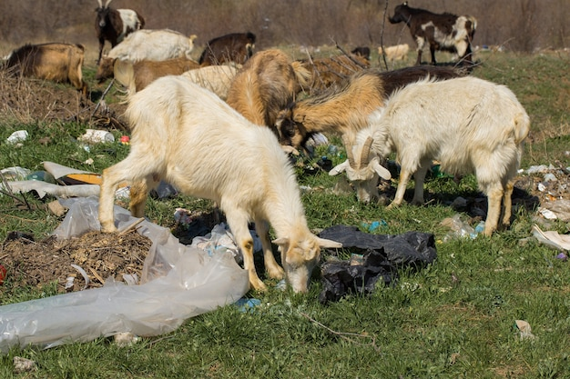 Козы едят пластиковые отходы экологическая катастрофа от пластиковых отходов гибнут животные