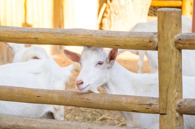 ブラジルのリオデジャネイロの農場で食べるヤギ。 Premium写真