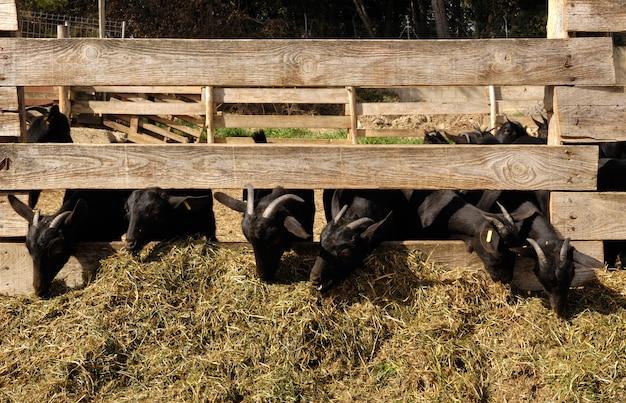 Goats eating on a farm