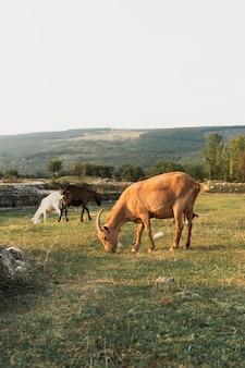 牧草地で草を食べるヤギ
