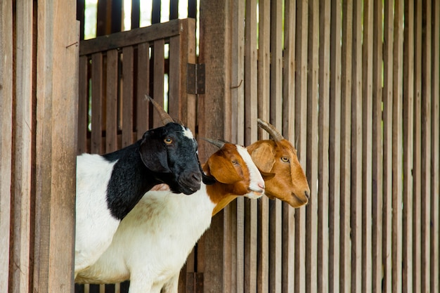 Goats in the farm in thailand