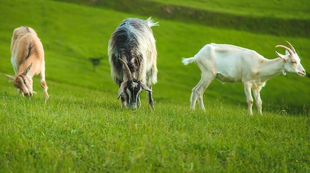 ヤギは牧草地で放牧します