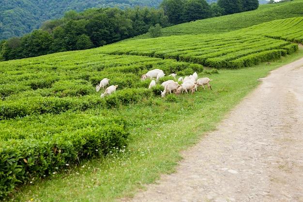 Козы пасутся на красивой чайной плантации.