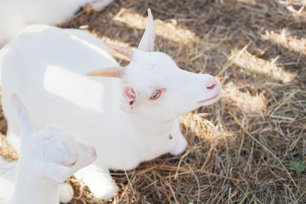 干し草の山を放牧する山羊