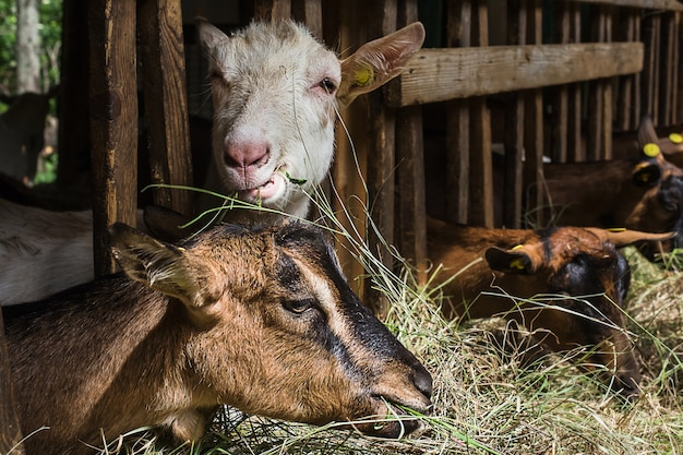 Goats grazing inside a stable