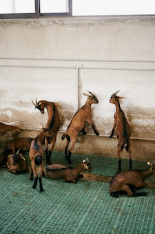 Goats hit the wall standing on their hind legs
