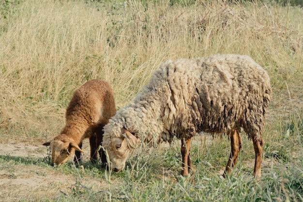 自然界のヤギ。 2頭のヤギの横顔の肖像画。ぼやけた自然の背景に白い角のあるヤギの頭。ヤギ農場の牧草地にいる白いヤギ。ヤギ。村の農場でヤギの肖像画