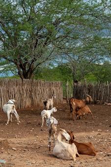 2011년 2월 27일 브라질 파라이바 카바세이라스 카리리 지역의 염소들.