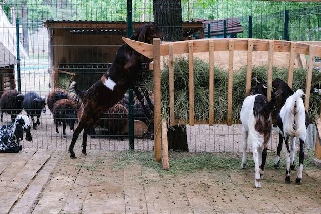Козы породы камори на ферме едят сено и траву. ушастые козы азиатской породы