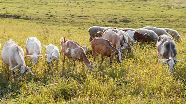 Goats on land with grass eating