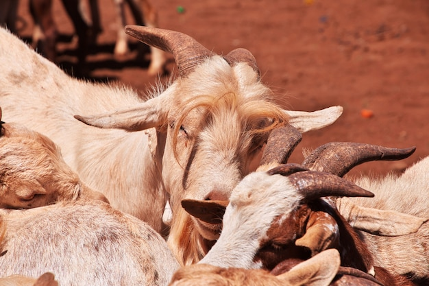 Goats on the local market in africa, moshi