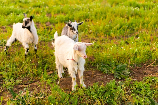 草を食べるエコファームのヤギ