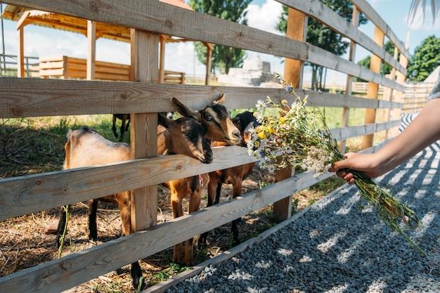 木製の避難所に立って、ヤギのカメラの利点を見ている農場の茶色のヤギのヤギ
