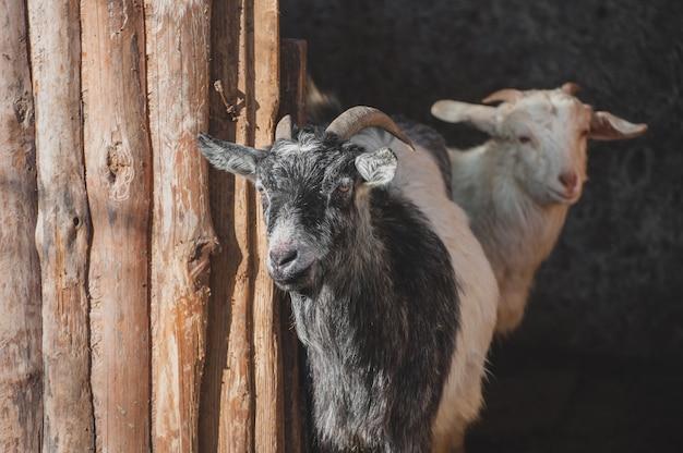 木製のパドックで農場のヤギ