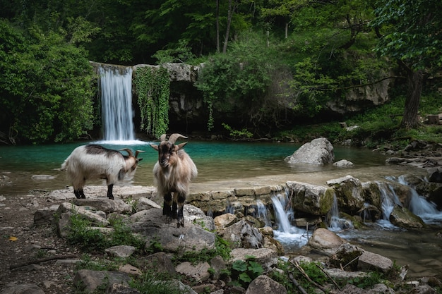 Goats on the river bank