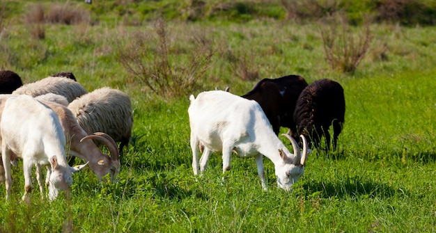 Goats and sheep eating grass in a sunny day.