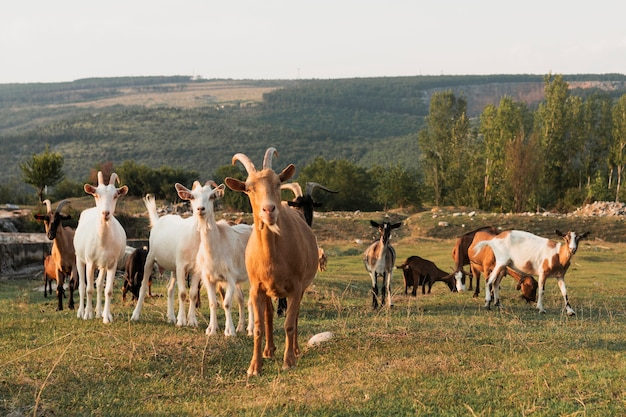 Goats standing on the meadow and looking at camera