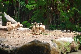 Goats at surabaya zoo, animals