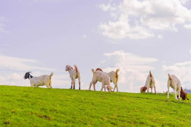ヤギヤギは農業で牧草地で草を食べる