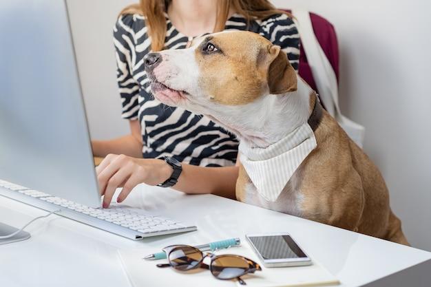 Собираюсь работать с концепцией домашних животных: милая собака с владельцем женского пола перед настольным компьютером в офисе. стаффордширский терьер сидит в офисном кресле на современном рабочем месте.