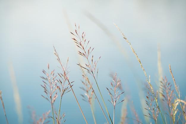 Gold beard grass