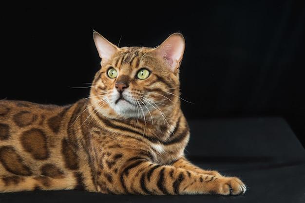 Il gatto del bengala d'oro su sfondo nero