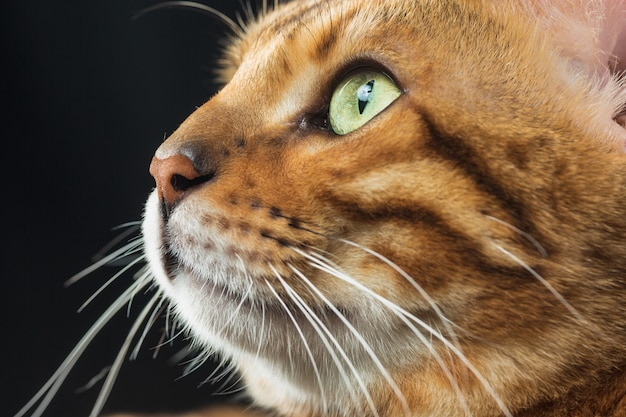 The gold bengal cat