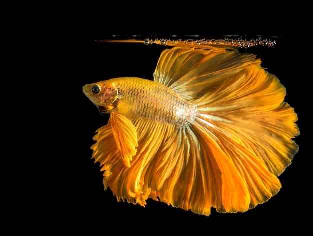 金のbettaの魚、戦いの魚、黒に分離されたシャムの戦いの魚