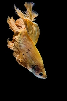 Gold betta fish, siamese fighting fish