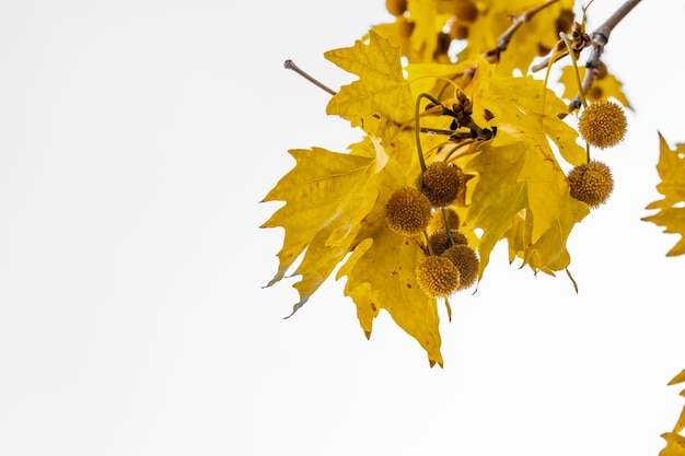 Gold color plane tree leaves isolated on white background. platanus orientalis, old world sycamore, oriental plane.