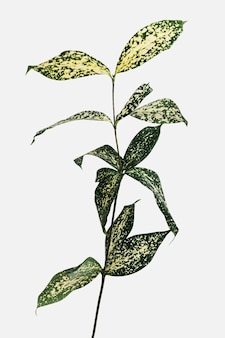 Gold dust croton branch on an off white background