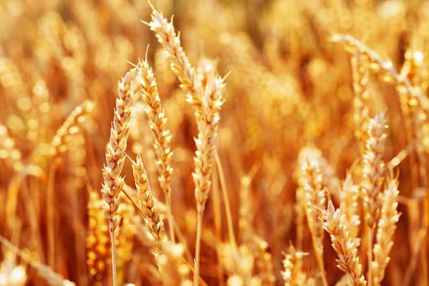 暖かい日差しの中で小麦の金の穂日没の光の中で小麦畑豊かな収穫の概念