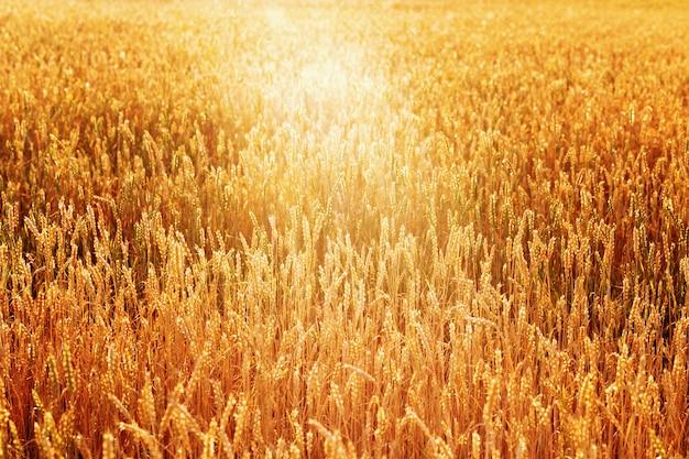 暖かい日差しの中で小麦の金の穂夕日の光の中で小麦畑豊かな収穫の概念