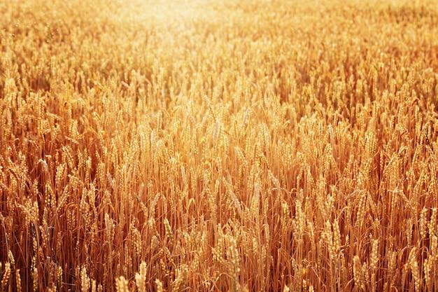 暖かい日光の下で小麦の金の穂
