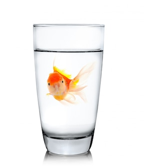 Gold fish in drinking glass