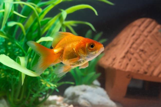 Gold fish or goldfish floating swimming underwater in fresh aquarium tank