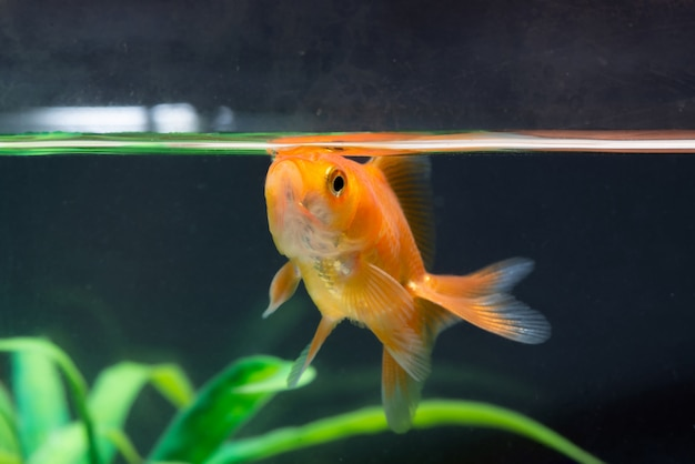 Gold fish or goldfish floating swimming