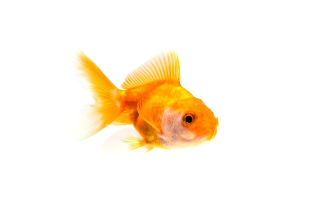 Gold fish or goldfish swimming isolated on white background.