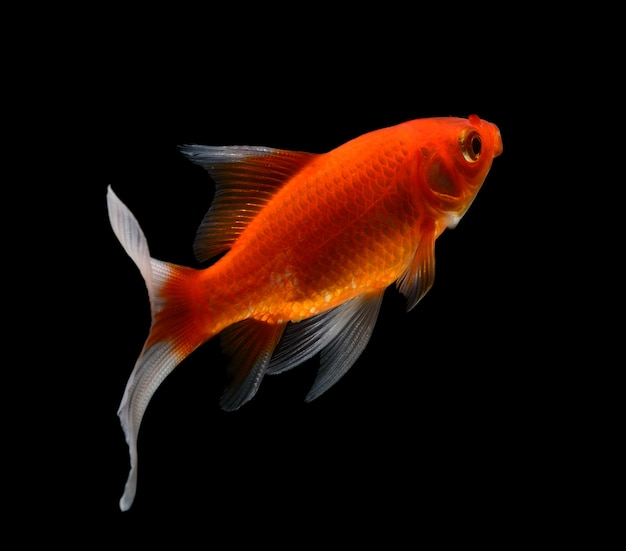 Gold fish isolated on black  space