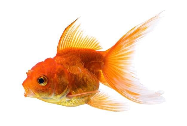 白で隔離される金の魚
