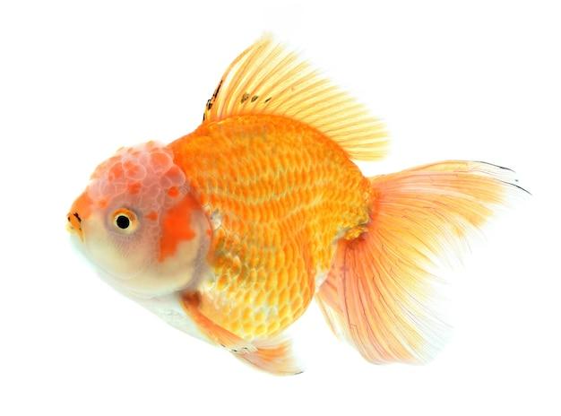 Золотая рыбка, изолированные на белом фоне