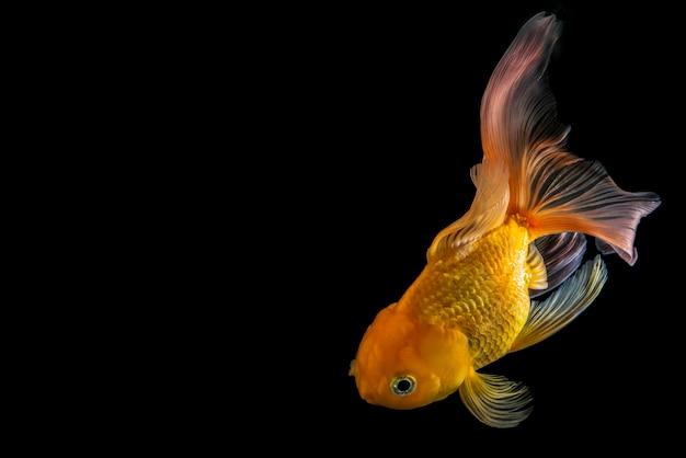 Золотая рыбка на черном фоне, красивая золотая рыбка, изолированные на черном фоне, золотая рыбка, плавающая на черном