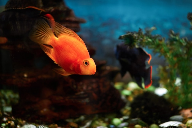 Gold fish swims in an aquarium