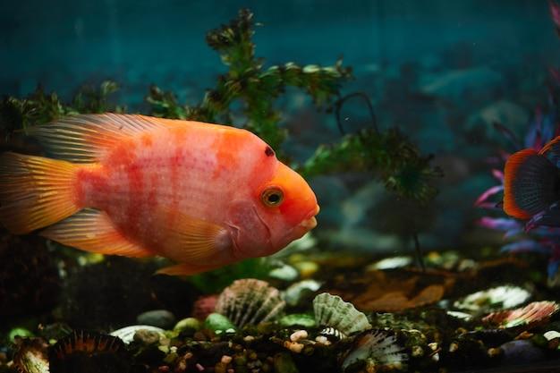 황금 물고기는 수족관에서 수영