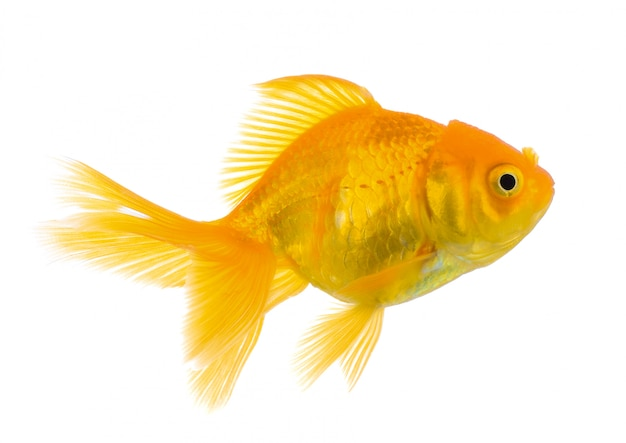 Gold fish on white wall